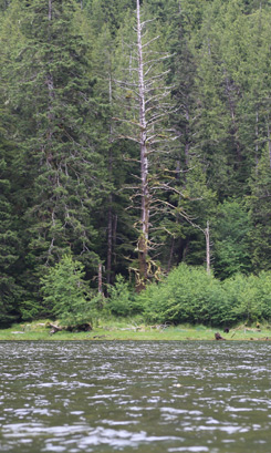 Image of black bear eating the grass at Ts'aahl Narrows.